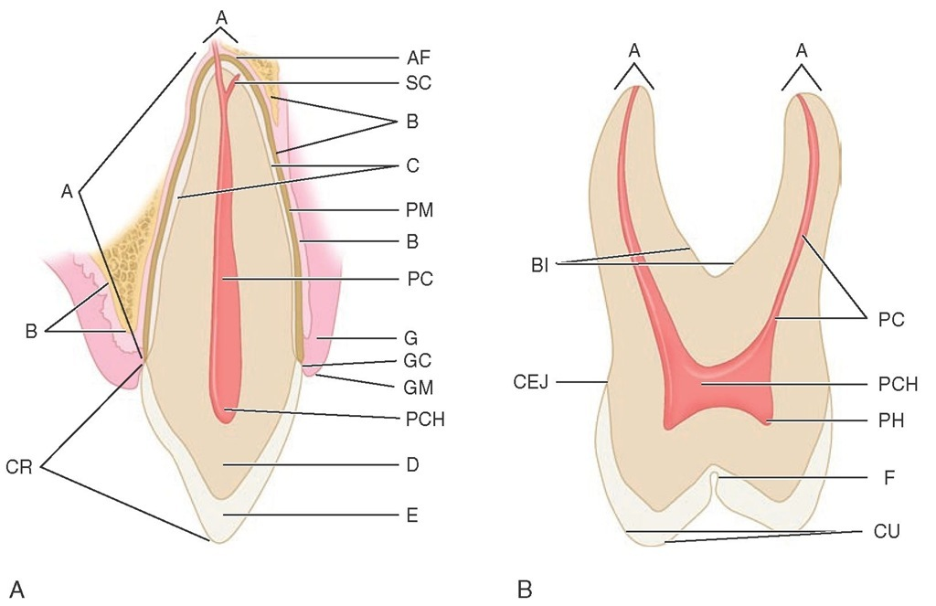 Schematic drawings of longitudinal sections of an anterior and a posterior tooth. A, Anterior tooth. A, Apex; AF, apical foramen; SC, supplementary canal; B, bone; C, cementum; PM, periodontal ligament; PC, pulp canal; G, gingiva; GC, gingival crevice; GM, gingival margin; PCH, pulp chamber; D, dentin; E, enamel; CR, crown. B, Posterior tooth. A, Apices; PC, pulp canal; PCH, pulp chamber; PH, pulp horn; F, fissure; CU, cusp; CEJ, cementoenamel junction; BI, bifurcation of roots.