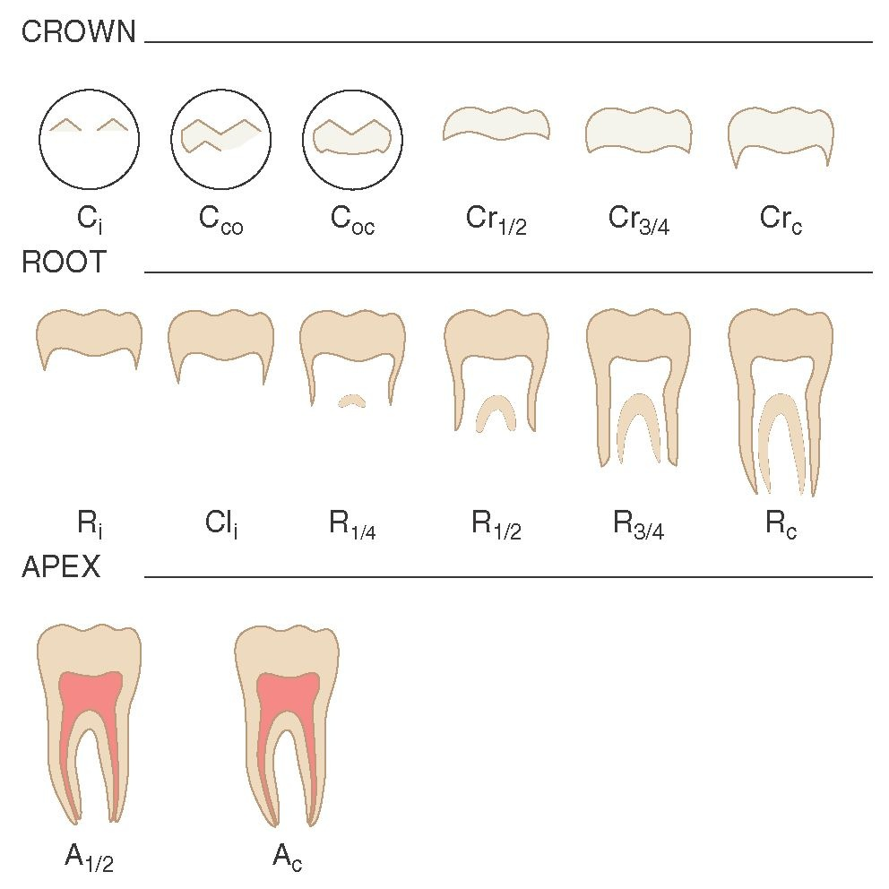 Development and eruption of the teeth dental anatomy physiology stages of permanent tooth formation see text for definition of abbreviations ccuart Image collections