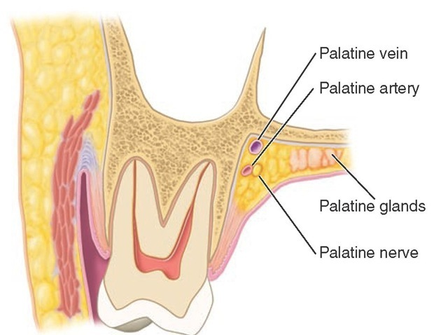 Section through the second maxillary molar and adjacent tissues.