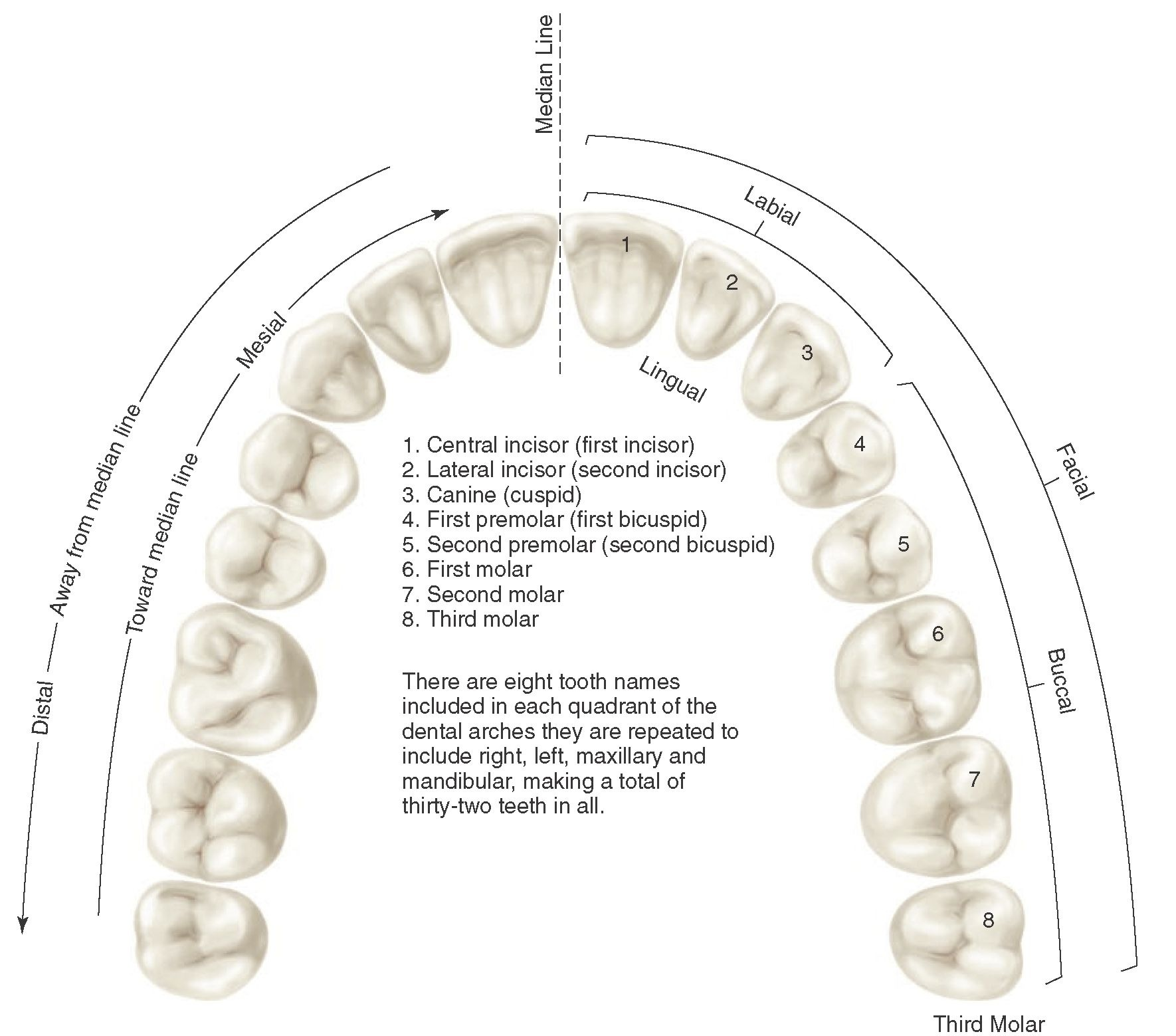 Introduction to Dental Anatomy (Dental Anatomy, Physiology and ...