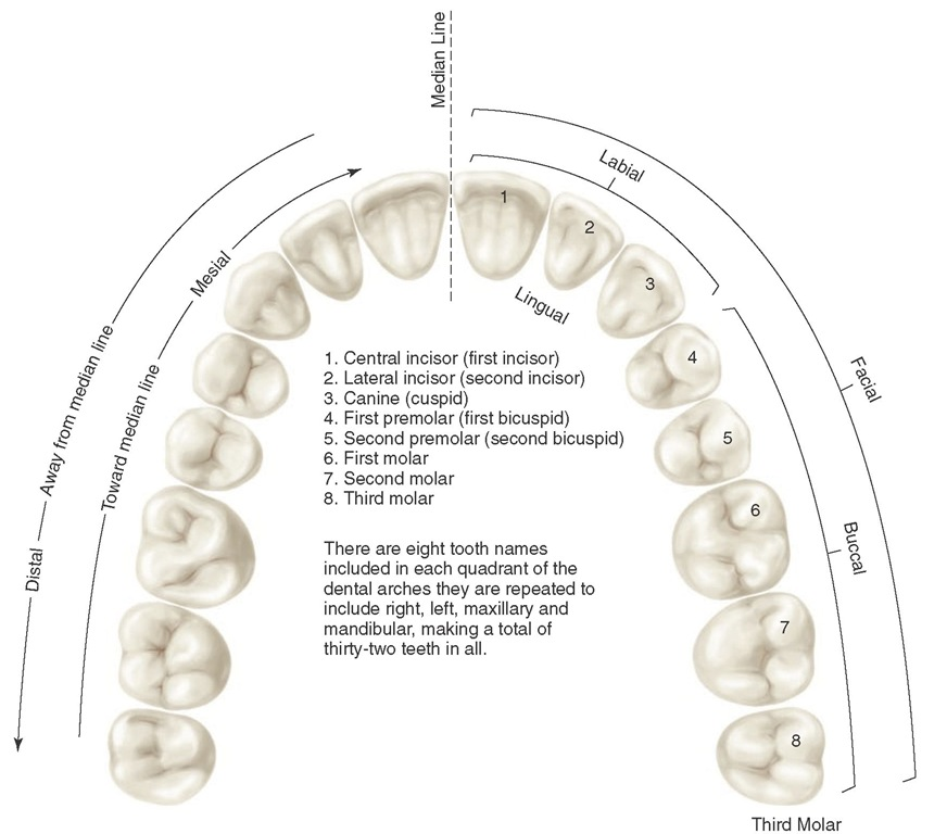 Application of nomenclature. Tooth numbers l1 to L8 indicating left maxillary teeth. Tooth surfaces related to the tongue (lingual), cheek (buccal), lips (labial), and face (facial), apply to four quadrants and the upper left quadrant. The teeth or their parts or surfaces may be described as being away from the midline (distal) or toward the midline (mesial).