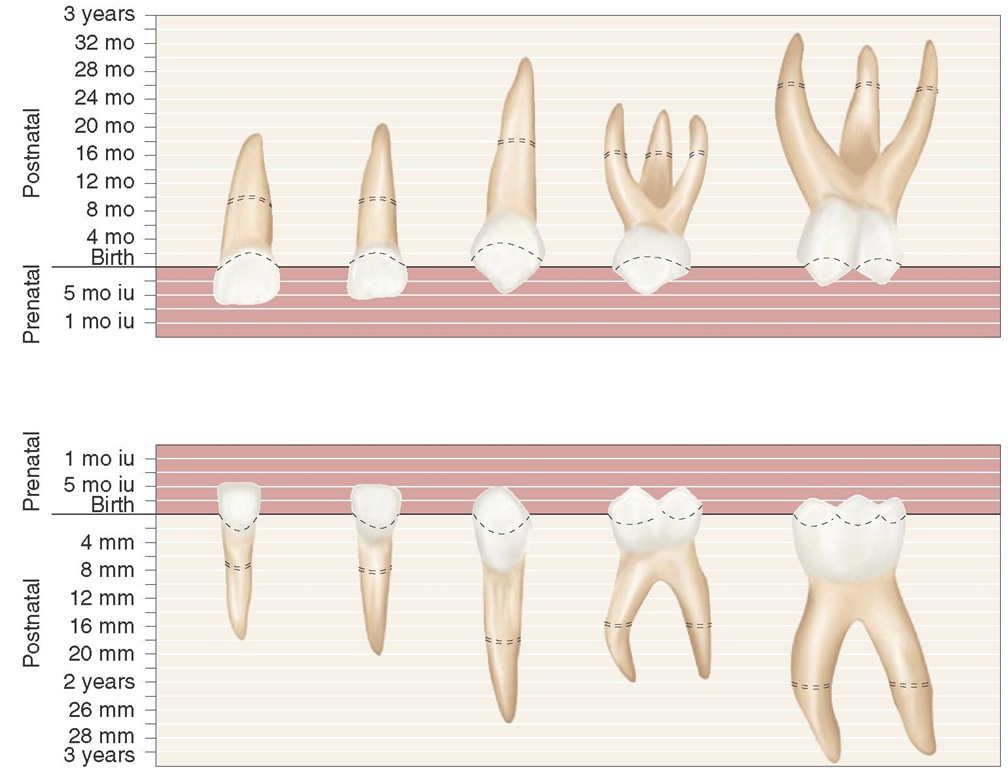 Diagrammatic representation of the chronology of the primary teeth. Eruption is completed at the approximate time indicated by the dotted area on the roots of the teeth. iu, Intrauterine.