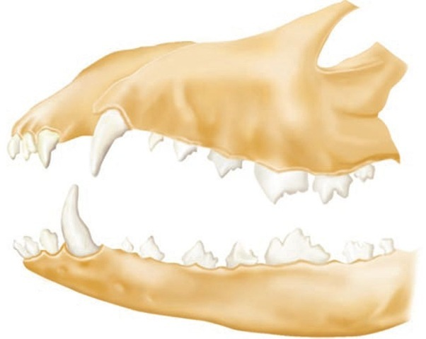 Comparative dental anatomy