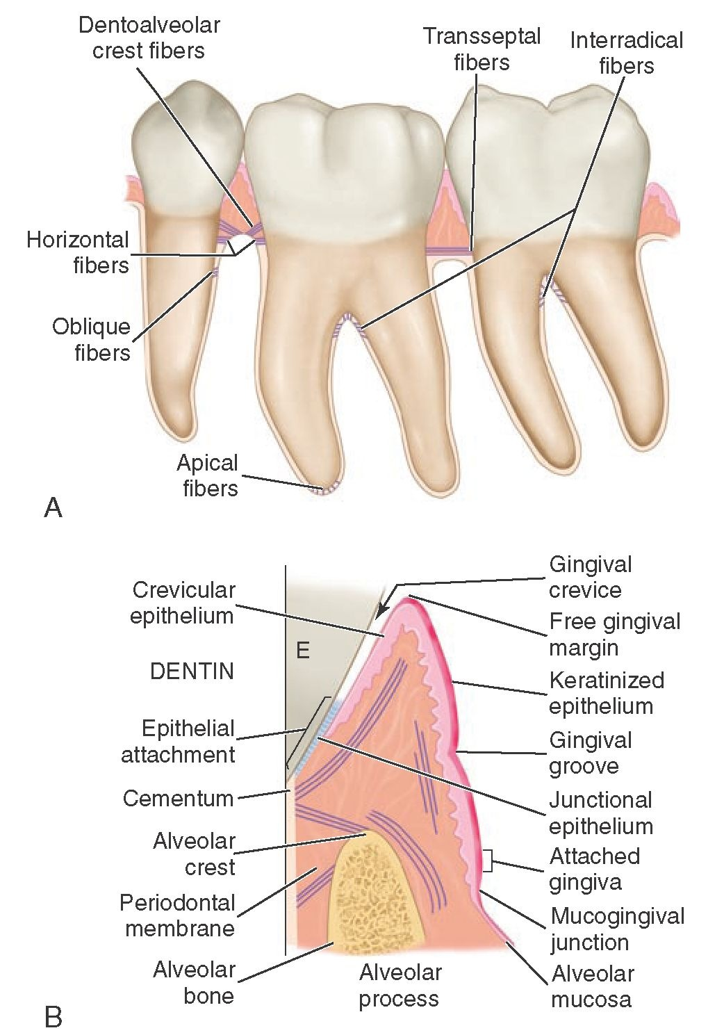 Orofacial Complex Form And Function Dental Anatomy Physiology And