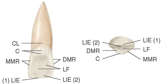 Maxillary right central incisor, lingual and incisal aspects. The labioincisal edge [LIE (1)] and linguoincisal edge [LIE (2)] border the incisal ridge. CL, Cervical line; C, cingulum; MMR, mesial marginal ridge; LF, lingual fossa; DMR, distal marginal ridge.