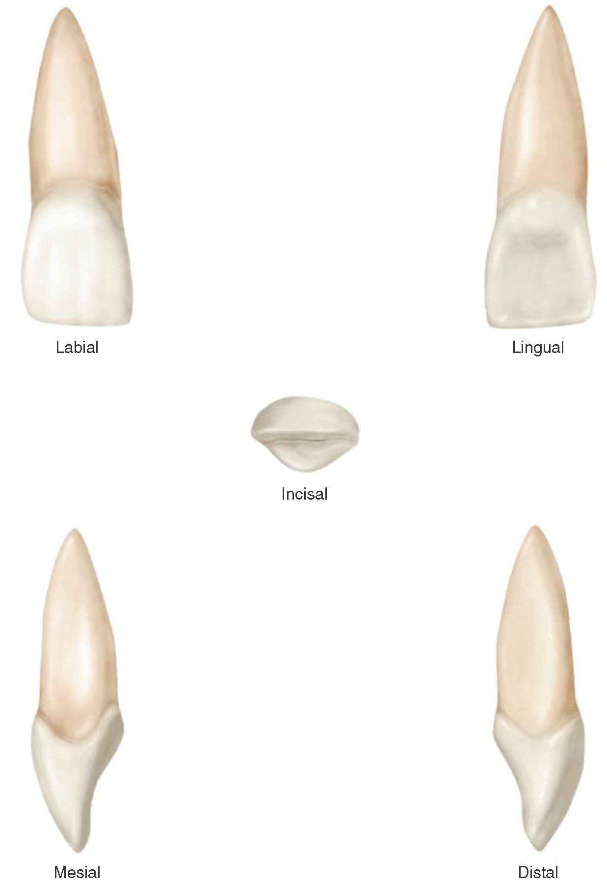 The Permanent Maxillary Incisors (Dental Anatomy, Physiology and ...