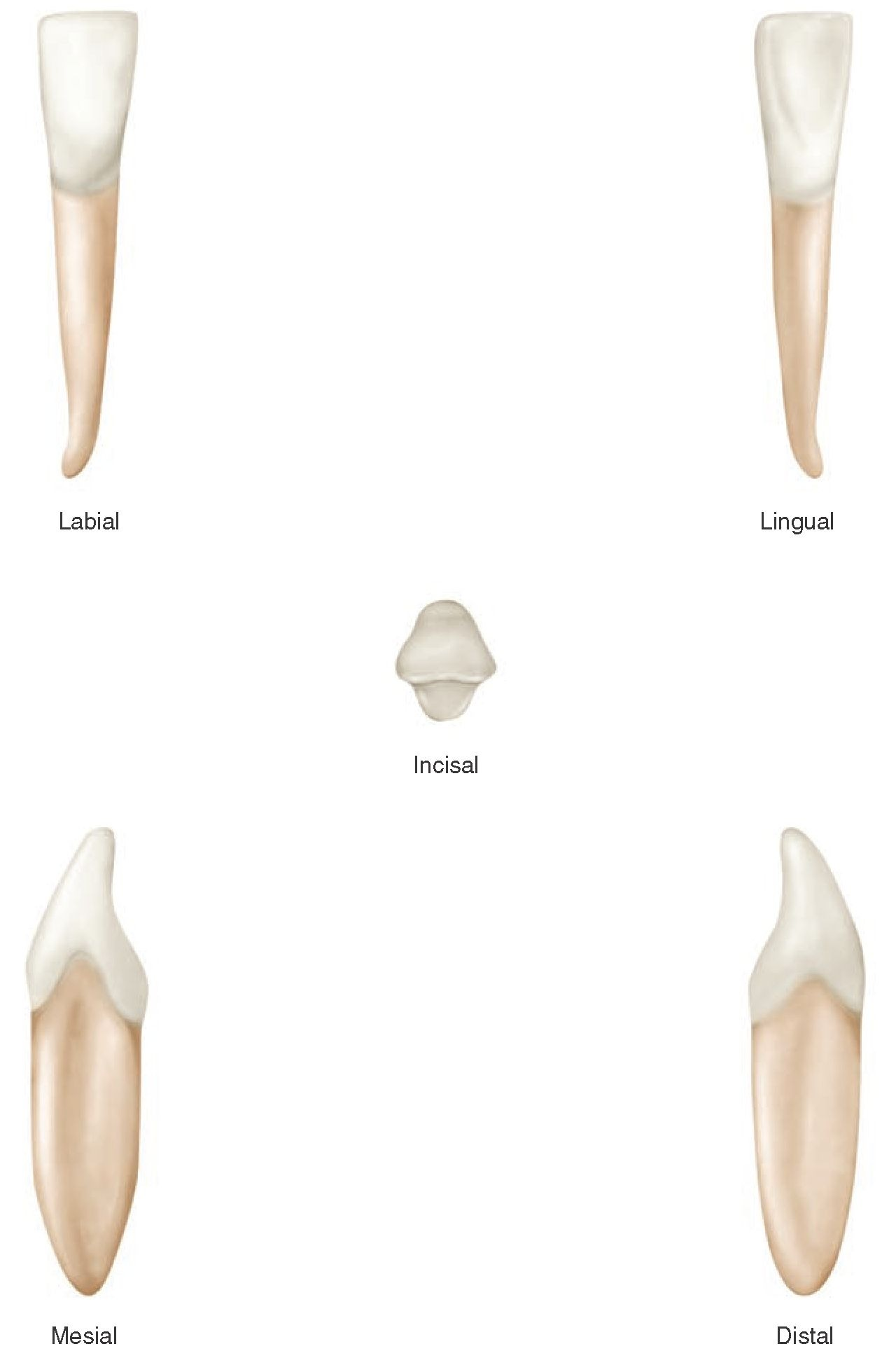 The Permanent Mandibular Incisors Dental Anatomy Physiology And