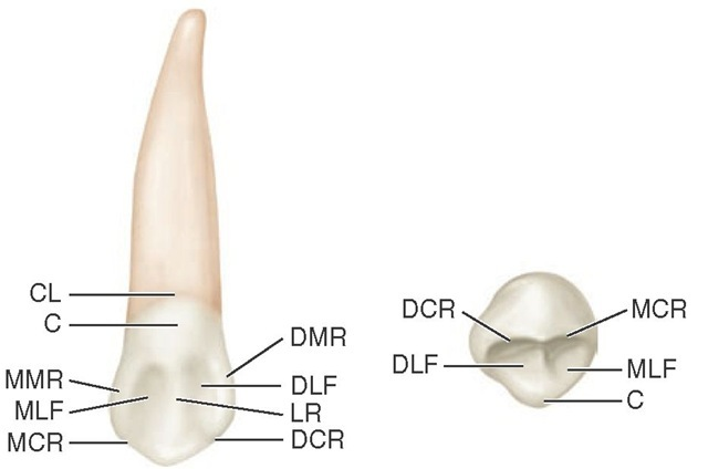 Maxillary right canine, lingual and incisal aspects. CL, Cervical line; C, cingulum; MMR, mesial marginal ridge; MLF, mesiolingual fossa; MCR, mesial cusp ridge; DCR, distal cusp ridge; LR, lingual ridge; DLF, distolingual fossa; DMR, distal marginal ridge.