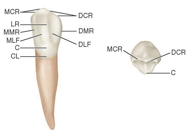 The Permanent Canines Maxillary And Mandibular Dental Anatomy
