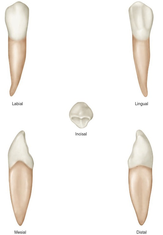 Mandibular right canine.