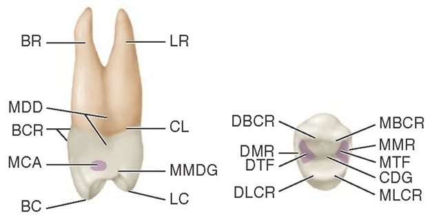 Maxillary right first premolar, mesial and occlusal aspects. LR, Lingual root; CL, cervical line; MMDG, mesial marginal developmental groove; LC, lingual cusp; BC, buccal cusp; MCA, mesial contact area; BCR, buccal cervical ridge; MDD, mesial developmental depression; BR, buccal root; MBCR, mesiobuccal cusp ridge; MMR, mesial marginal ridge; MTF, mesial triangular fossa (shaded area); CDG, central developmental groove; MLCR, mesiolingual cusp ridge; DLCR, distolingual cusp ridge; DTF, distal triangular fossa; DMR, distal marginal ridge; DBCR, distobuccal cusp ridge.