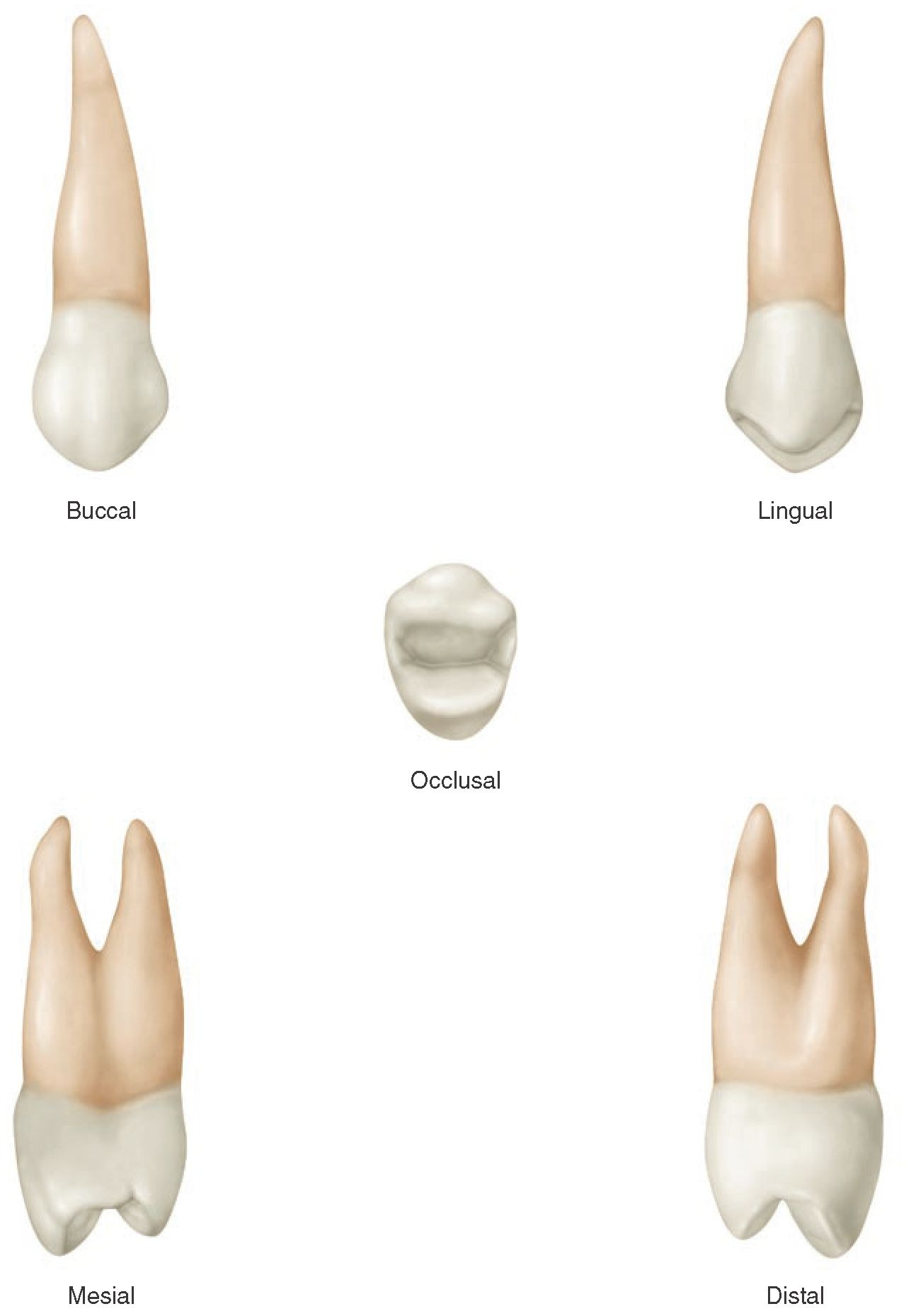 The Permanent Maxillary Premolars (Dental Anatomy, Physiology and ...