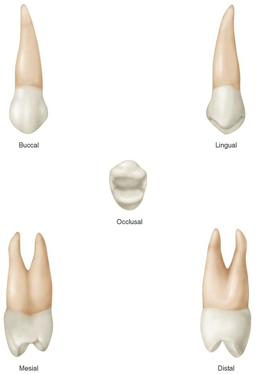 Maxillary right first premolar.