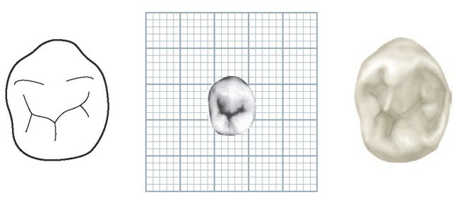 how to draw a molar
