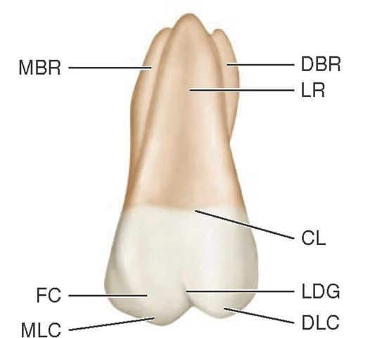 Maxillary right first molar, lingual aspect. DBR, Distobuccal root; LR, lingual root; CL, cervical line; LDG, lingual developmental groove; DLC, distolingual cusp; MLC, mesiolingual cusp; FC, fifth cusp; MBR, mesiobuccal root.