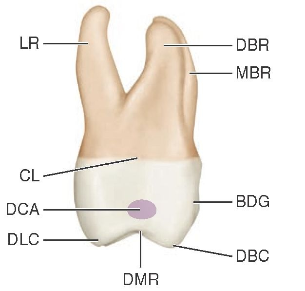 The Permanent Maxillary Molars (Dental Anatomy, Physiology and ...