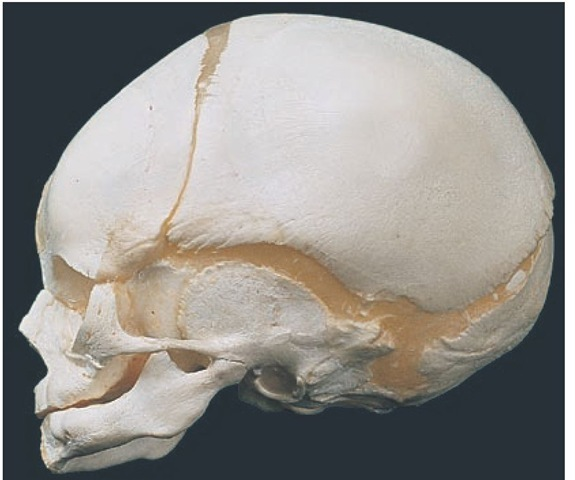 Neonatal skull showing large brain case and orbits; the neurocranium is larger than the splanchnocranium, which contains the jaws and all the developing teeth.