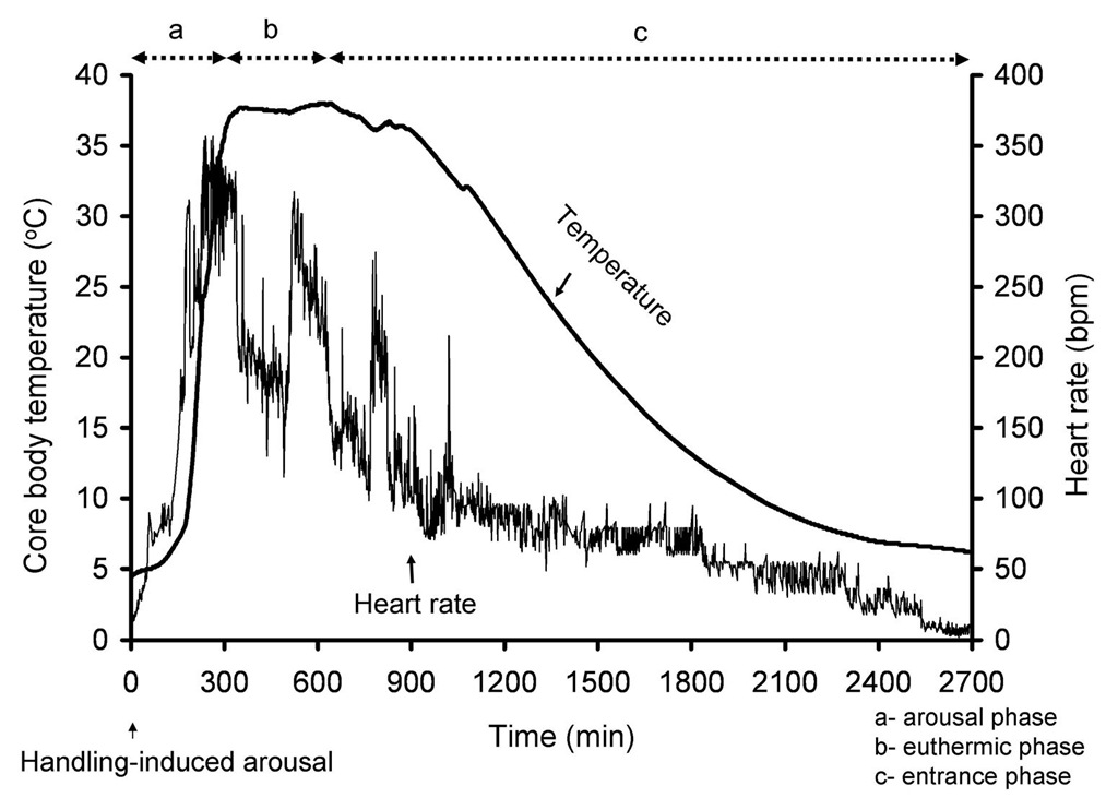 Core body temperature was measured in an Arctic ground squirrel after arousal from torpor induced by gentle handling and until the animal entered another bout of torpor.