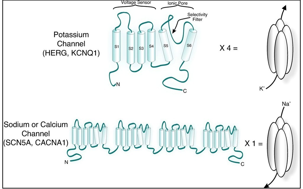 Schematic representation of K+ (top) and sodium or calcium (bottom) channel proteins. Note that four identical subunits combine to form a single unit for K+ channels. Sodium and calcium channels are encoded as a singe polypeptide that is compised of four domains that are homologous the single subunit of a K+ channel. S1 through S6 signify the transmembrane helices