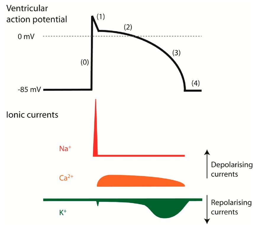 Ionic currents shape the cardiac action potential. Illustration of a ventricular action potential and the underlying currents.