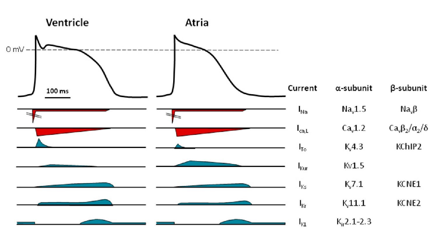 The major ion channels responsible for the ventricular and atrial action potentials. An illustration of the different depolarising (red) and repolarising (blue) currents underlying the action potential in the ventricle and the atria. The current names, together with the major proteins constituting the channels conducting these currents, are listed to the right.