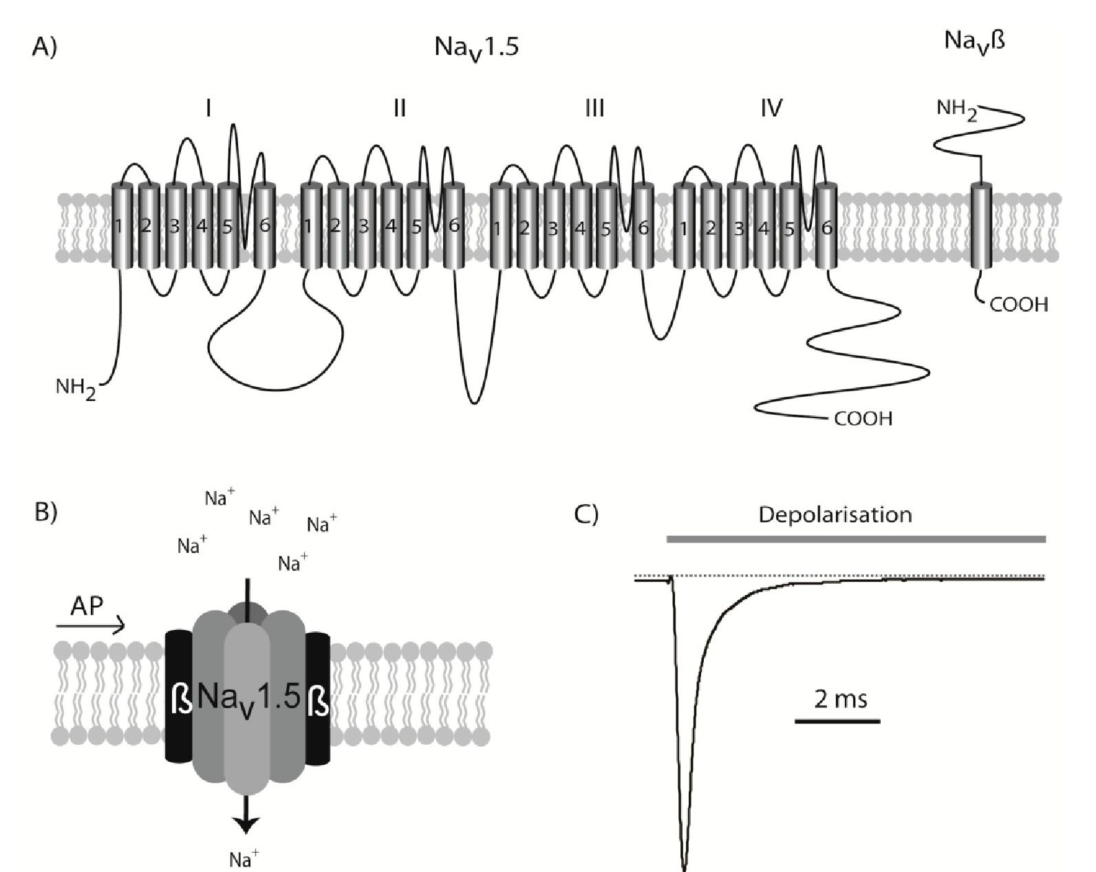 The cardiac Nav1.5 sodium channel. A) The SCN5A gene is transcribed into the large Nav1.5 protein containing 24 transmembrane domains. B) This protein can fold up into a functional channel, but it is believed to be modulated by the Navp one-transmembrane spanning p-subunits in vivo. When an action potential (AP) induces a depolarisation of the membrane, Nav1.5 is activated and a transient influx of sodium begins. C) Illustration of the current conducted through Nav1.5 channels following a depolarising pulse. The channels will activate very quickly, but as soon as the action potential has commenced a fast inactivation is also initiated. After approximately 10 milliseconds, only a small fraction of the channels will be open.