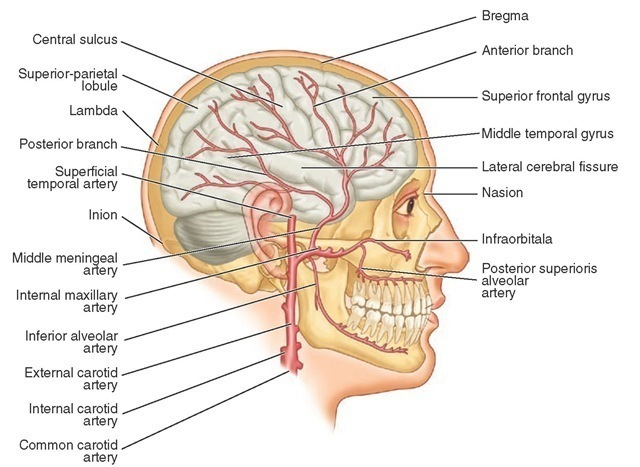 Dento-osseous Structures, Blood Vessels, and Nerves (Dental Anatomy ...