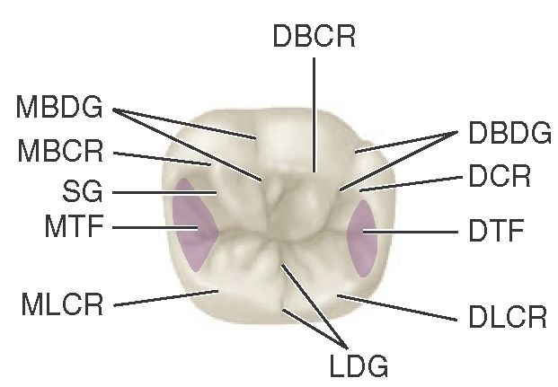 Mandibular right first molar, occlusal aspect. DBCR, Distobuccal cusp ridge; DBDG, distobuccal developmental groove; DCR, distal cusp ridge; DTF, distal triangular fossa (shaded area); DLCR, distolingual cusp ridge; LDG, lingual developmental groove; MLCR, mesiolingual cusp ridge; MTF, mesial triangular fossa (shaded area); SG, a supplemental groove; MBCR, mesiobuccal cusp ridge; MBDG, mesiobuccal developmental groove.