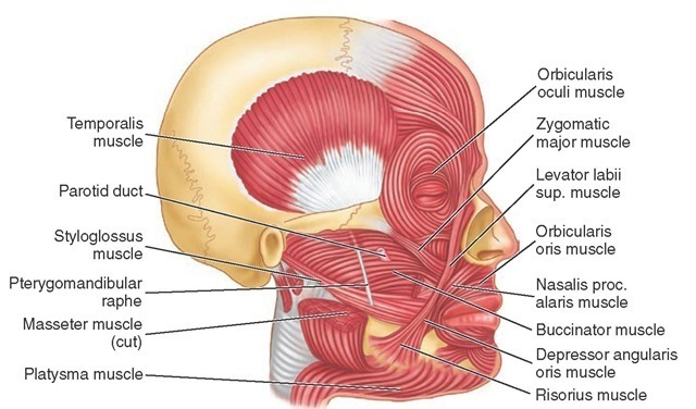 Facial muscle functions opinion