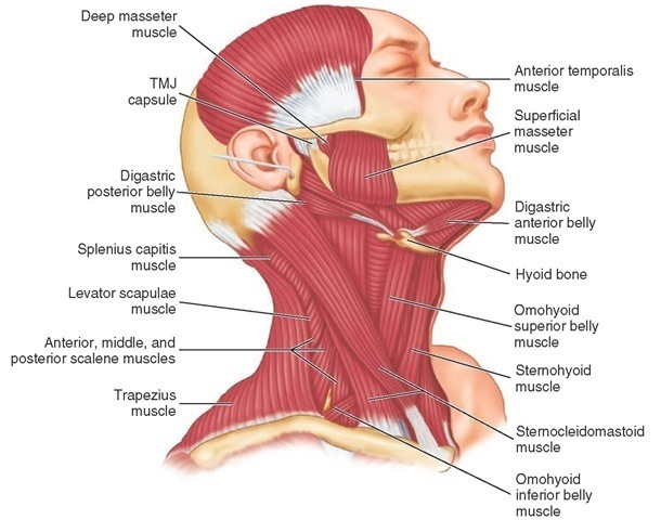 Anatomy of shoulder and neck