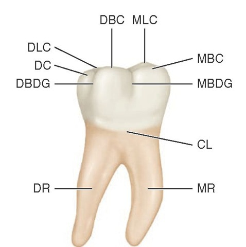 Mandibular right first molar, buccal aspect. MBDG, Mesiobuccal developmental groove; CL, cervical line; MR, mesial root; DR, distal root; DBDG, distobuccal developmental groove; DC, distal cusp; DLC, distolingual cusp; DBC, distobuccal cusp; MLC, mesiolingual cusp; MBC, mesiobuccal cusp.