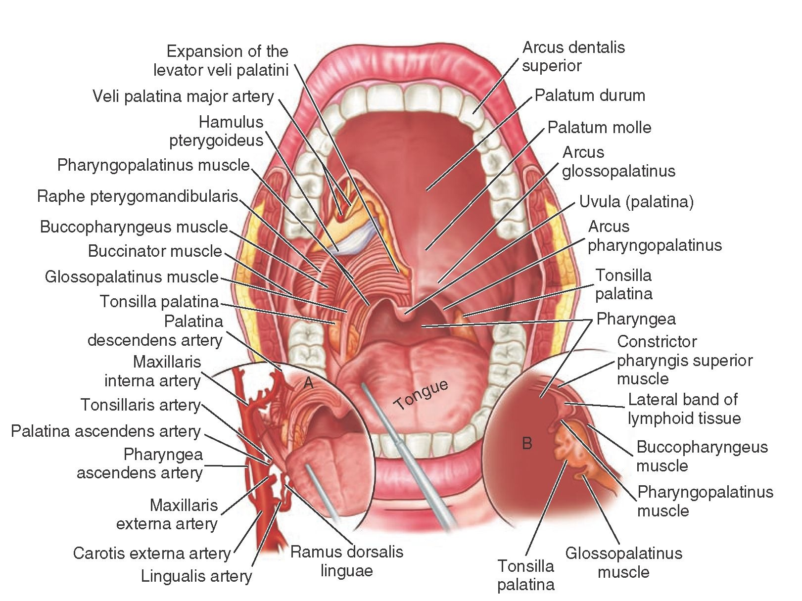 The Temporomandibular Joints Teeth And Muscles And Their