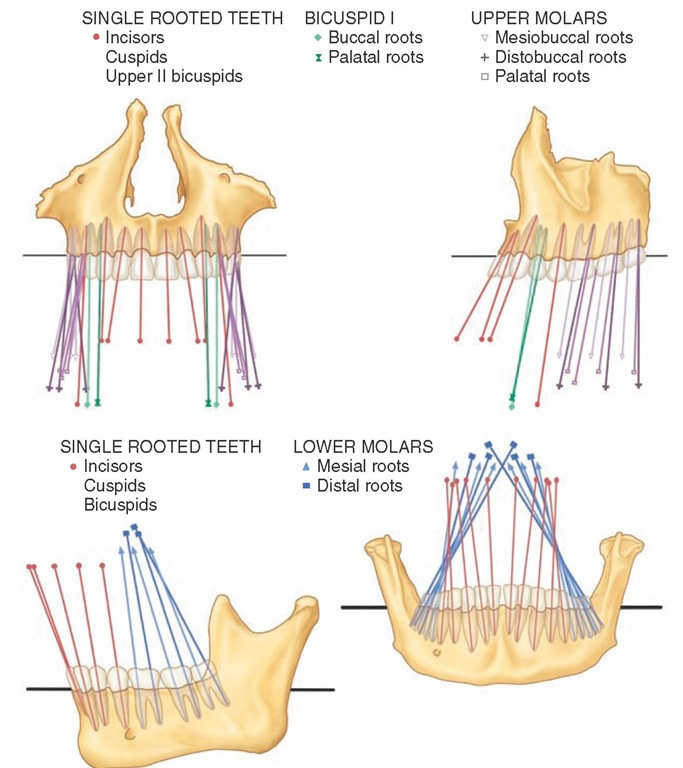 Orientation of the crowns and roots. Top, Maxillary teeth in frontal (left) and lateral (right) view; bottom, mandibular teeth in lateral (left) and frontal (right) view.