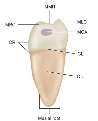 Mandibular right first molar, mesial aspect. MMR, Mesial marginal ridge; MLC, mesiolingual cusp; MCA, mesial contact area; CL, cervical line; DD, developmental depression; CR, cervical ridge; MBC, mesiobuccal cusp.