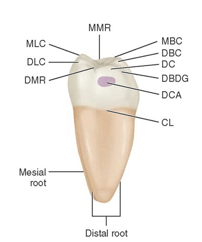 Mandibular right first molar, distal aspect. MMR, Mesial marginal ridge; MBC, mesiobuccal cusp; DBC, distobuccal cusp; DC, distal cusp; DBDG, distobuccal developmental groove; DCA, distal contact area; CL, cervical line; DMR, distal marginal ridge; DLC, distolingual cusp; MLC, mesiolingual cusp.