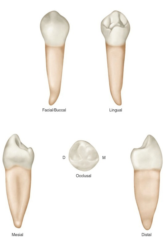 Review Of Tooth Morphology Dental Anatomy Physiology And Occlusion