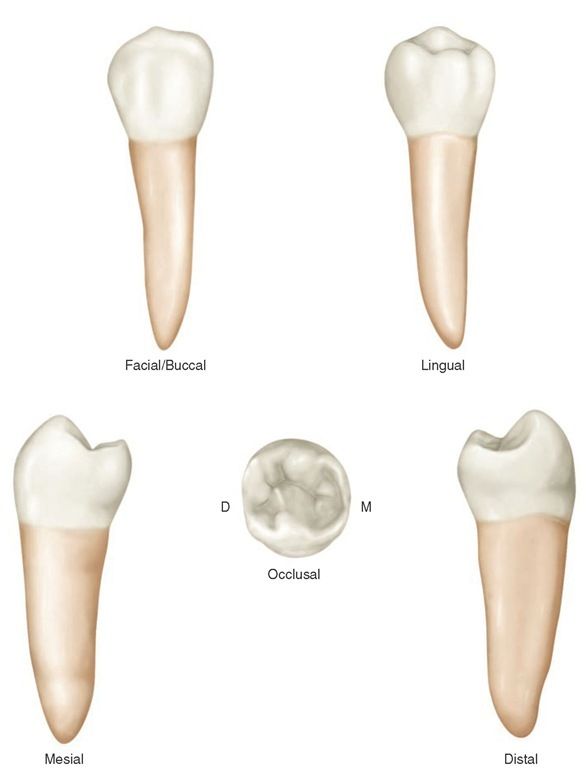 Review of Tooth Morphology (Dental Anatomy, Physiology and Occlusion ...