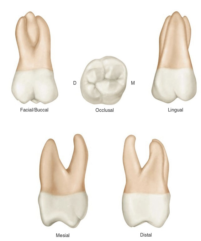 Review of Tooth Morphology (Dental Anatomy, Physiology and ...