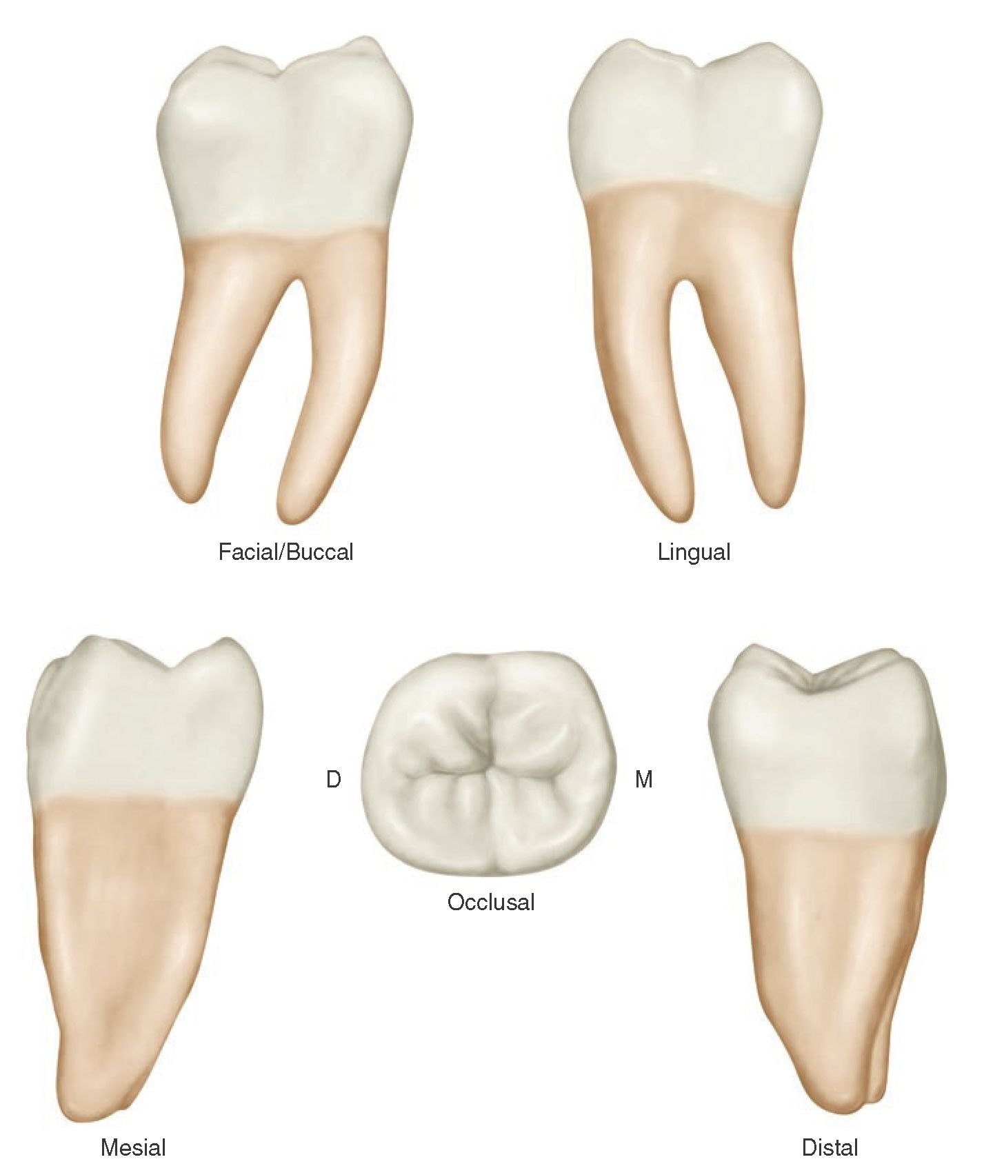 molar tooth structure - HD 1427×1691