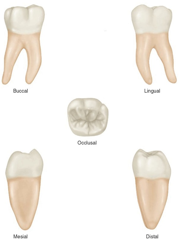 Mandibular right first molar.