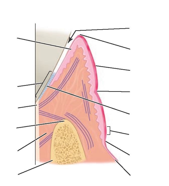 Flash Cards (Dental Anatomy, Physiology and Occlusion) Part 9