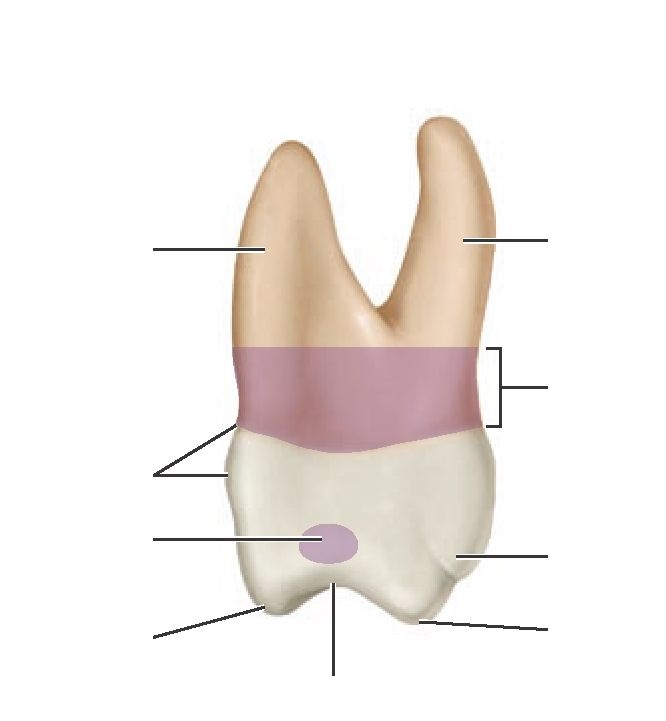 Flash Cards (Dental Anatomy, Physiology and Occlusion) Part 10
