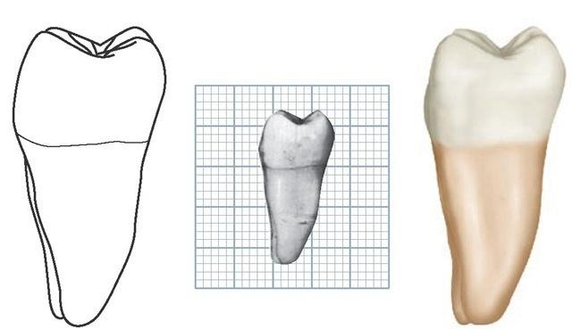 Image Gallery mandibular molars
