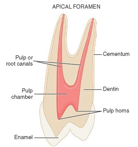 Anatomy of the pulp