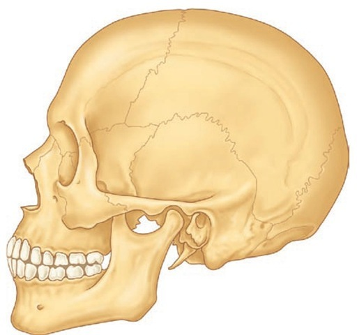 Representation of an adult skull with permanent dentition. The maxilla consists of a body and four processes (malar, nasal, alveolar, and palatine) that articulate by synarthrosis with cranial and other facial bones, (e.g., frontal, nasal, ethmoid, malar bones). The mandible articulates with the temporal bone by the temporomandibular joint (see Figure 15-6).