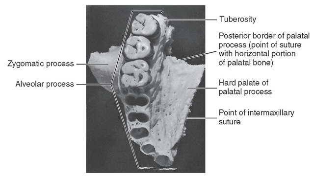 Palatine view of maxilla. Note the dental foramina in the deepest portion of the canine alveolus.