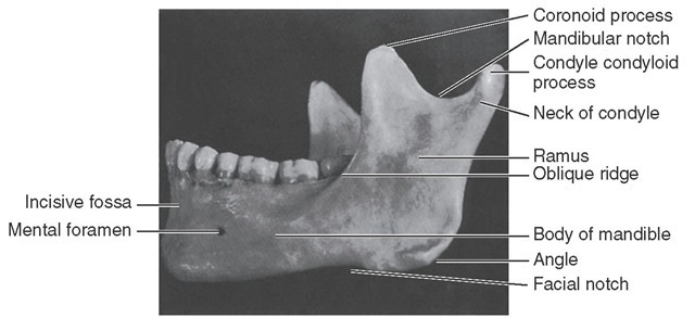 View of outer surface of mandible.
