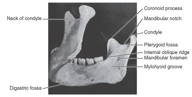 Posterolateral view of medial surface of mandible.