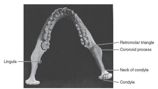 View of mandible from above.