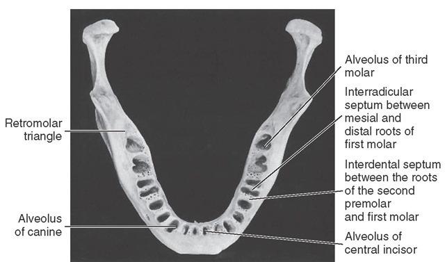 Alveolar process of the mandible showing alveoli.